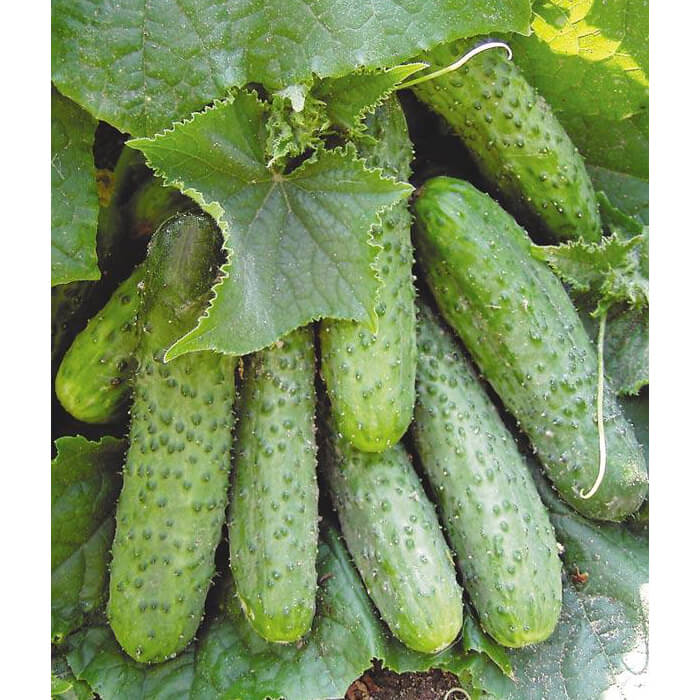 В чем преимущества семян Seminis