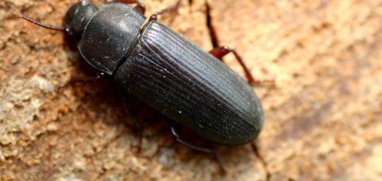 Жуки-шкідники врятують світ від пластику,- стенфордські біологи