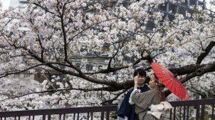 В Японии рекордно рано зацвела сакура. Видео