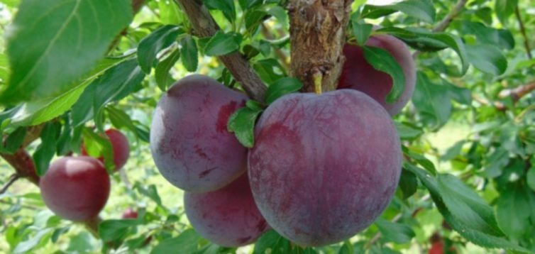 (Рус) Слива Бербанк Гигант – как получить огромный урожай