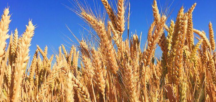 Формирование цены на пшеницу в Украине – базовые факторы