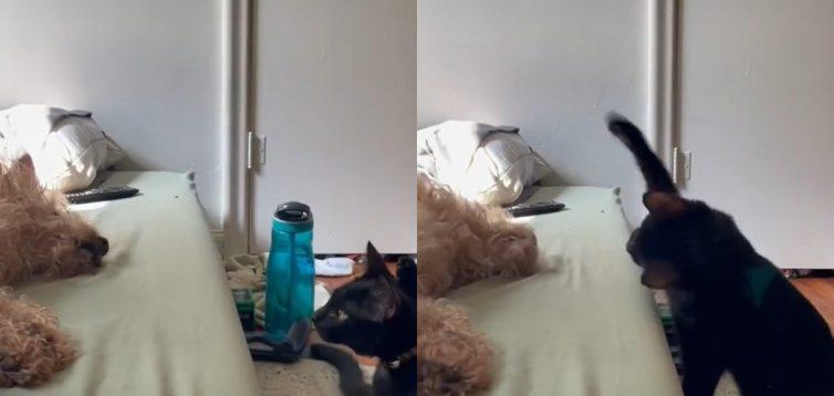 Нахабний кіт побив мирно сплячого пса. ВІДЕО