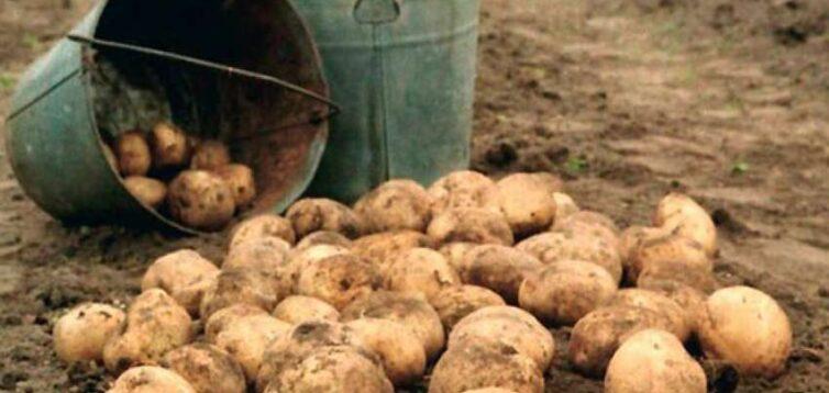 Під Рівним школярі замість дистанційного навчання копають картоплю